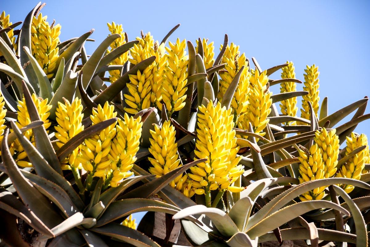 Flores de Aloe na Namíbia