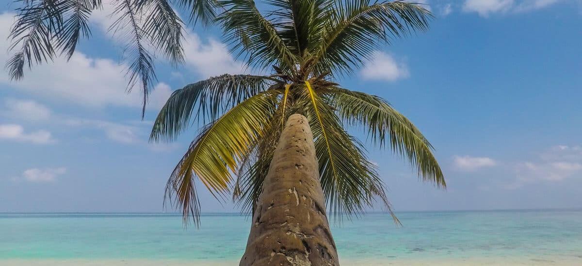 gulhi maldives coconut tree