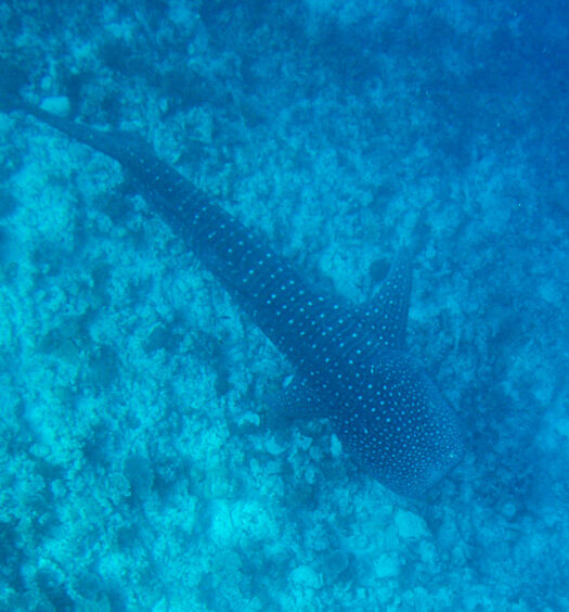 Tubarão Baleia na ilha Dhigurah Maldivas