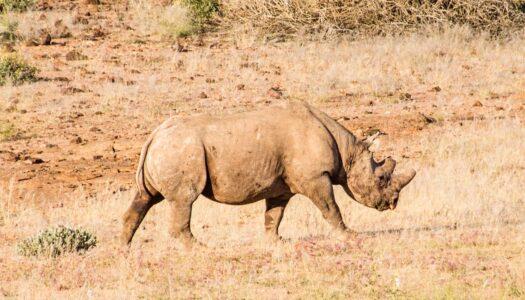 Black Rhino Tracking in Namibia
