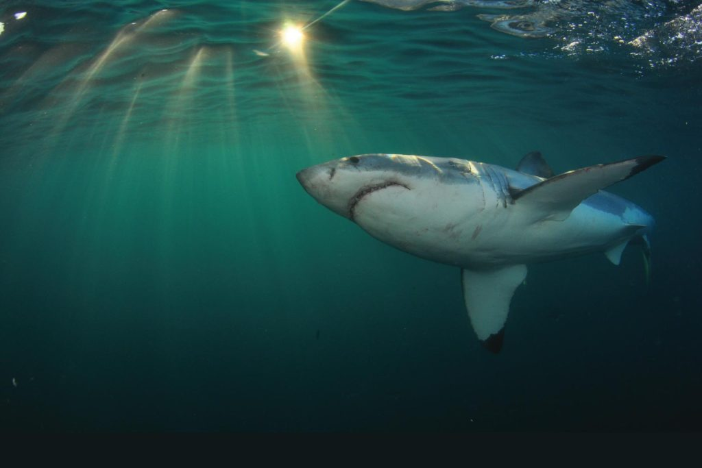 Dive with white sharks in South Africa