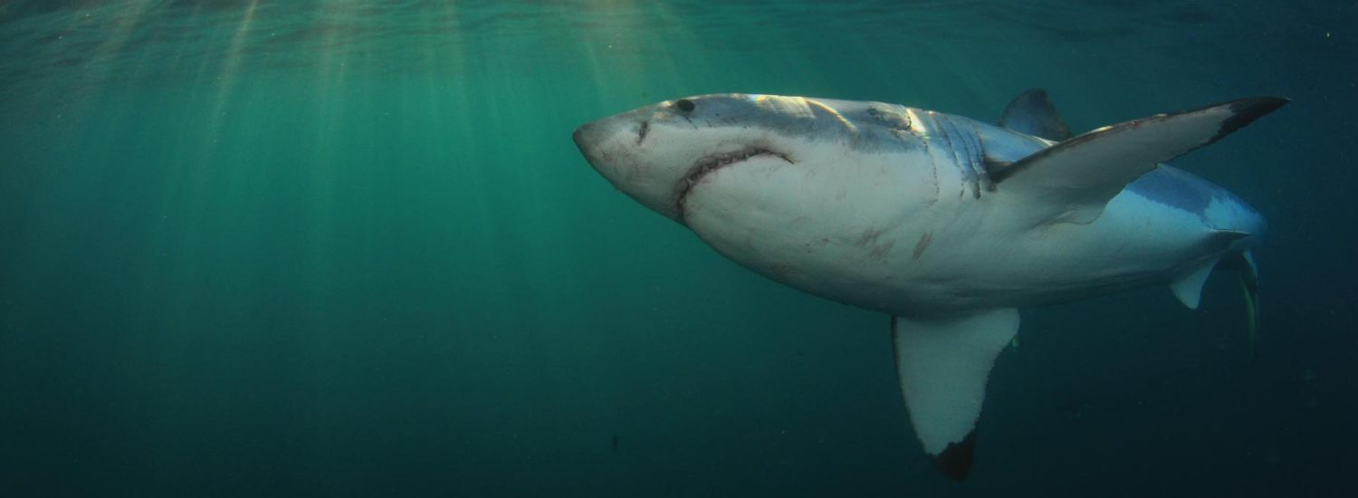 Get 10% OFF for Shark Cage Dive with White Shark Projects