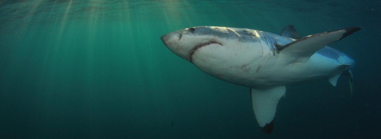 mergulho com tubarão branco em cape town