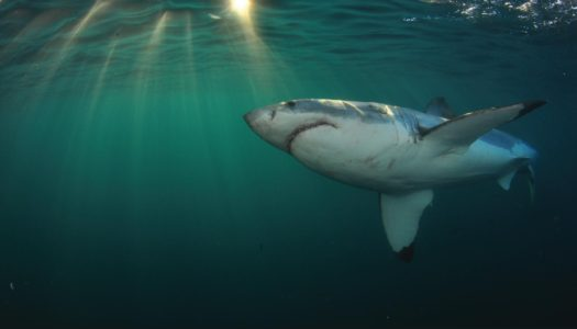 Great white shark cage diving in Cape Town, South Africa