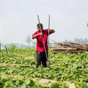 Plantação de Melancia em Thoddoo nas Maldivas