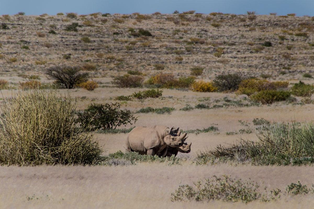 Rhino Tracking in Namibia Desert