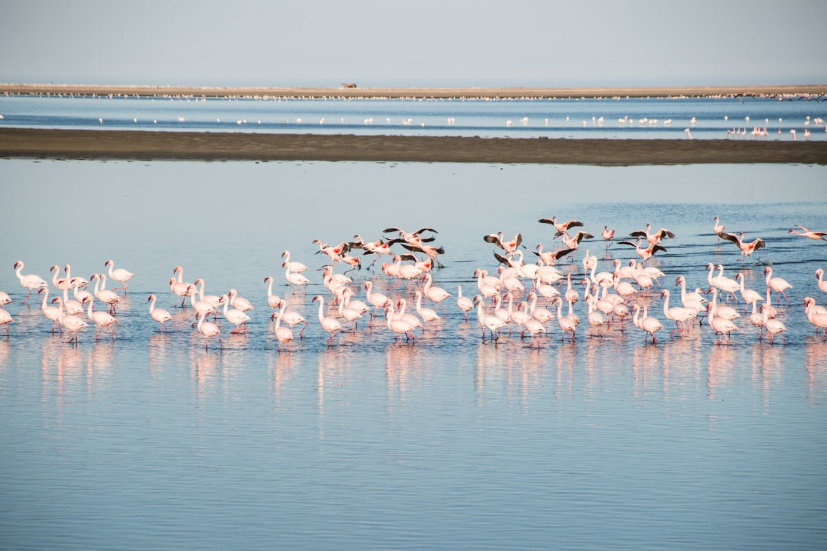 Flamingos in Walvis Bay Lagoon