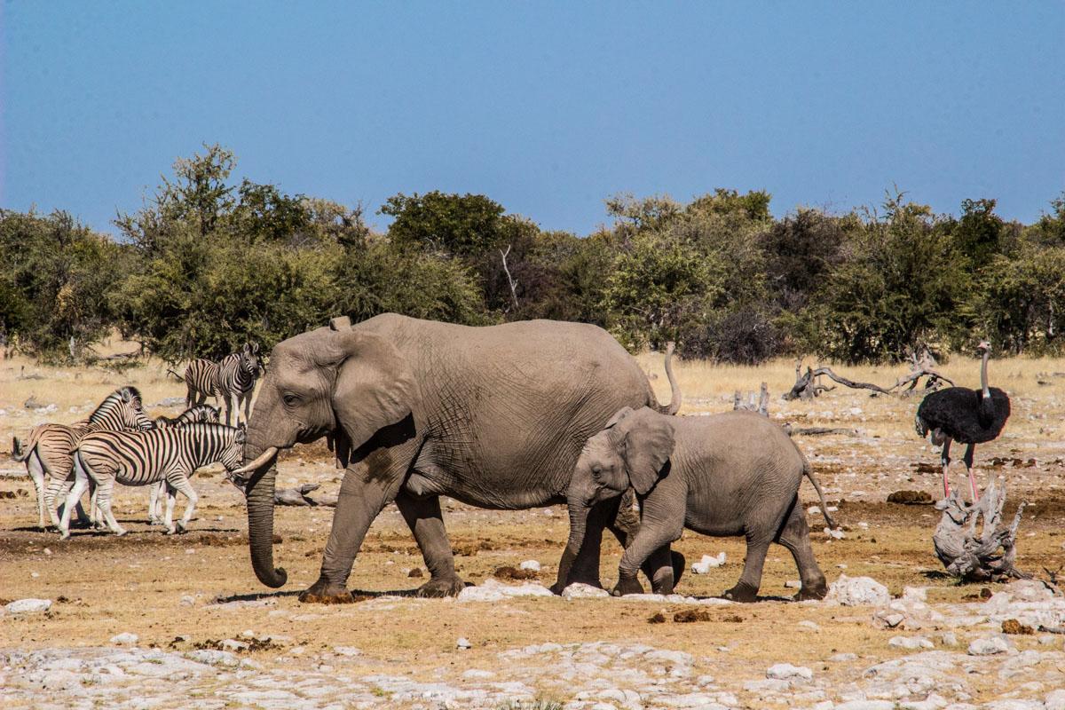 Safari in Etosha - Namibia