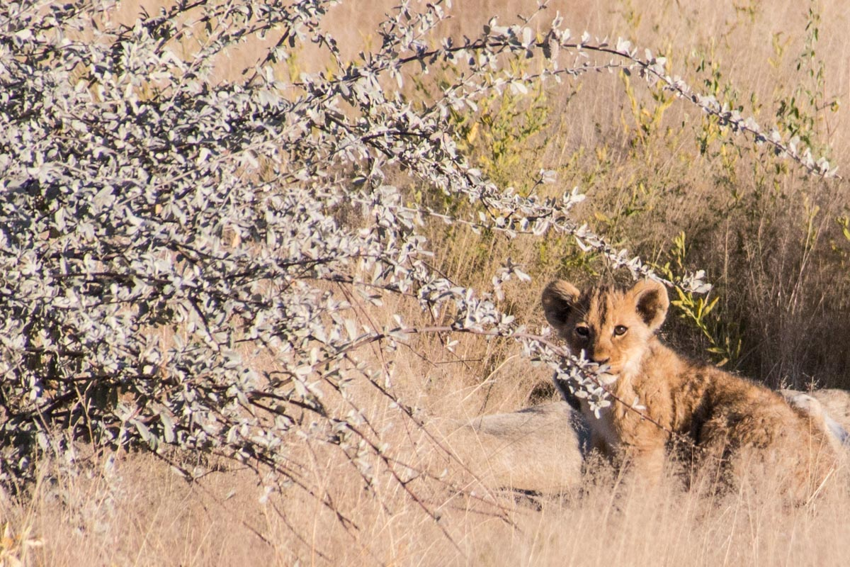 Baby lion at Etosha