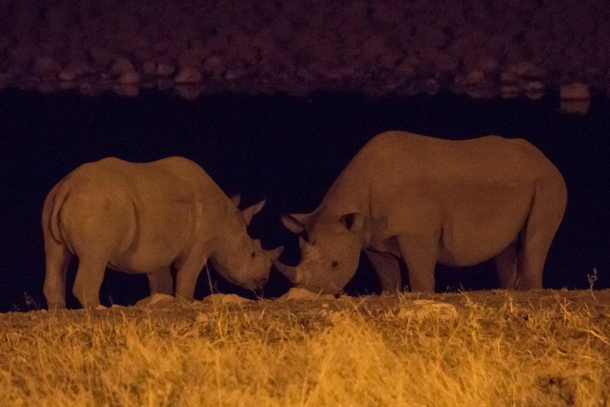 Rhinos drinking water Namibia