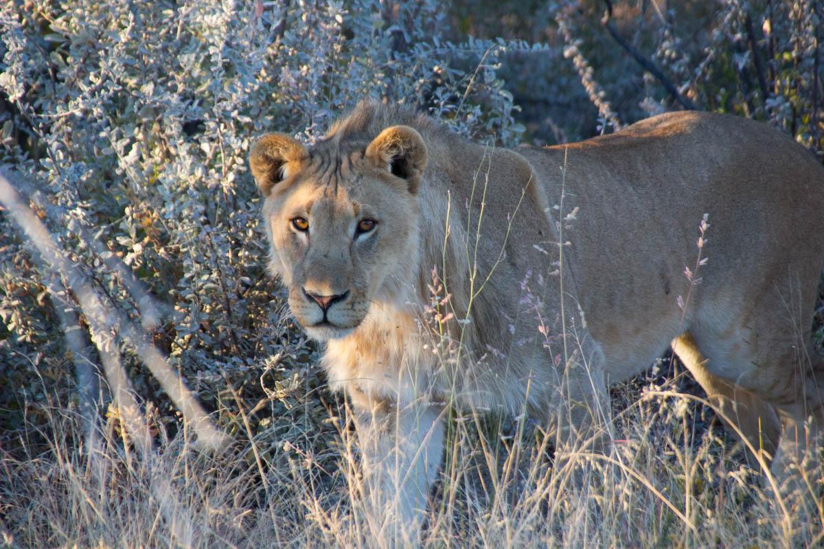 Lion Safari Etosha Namibia