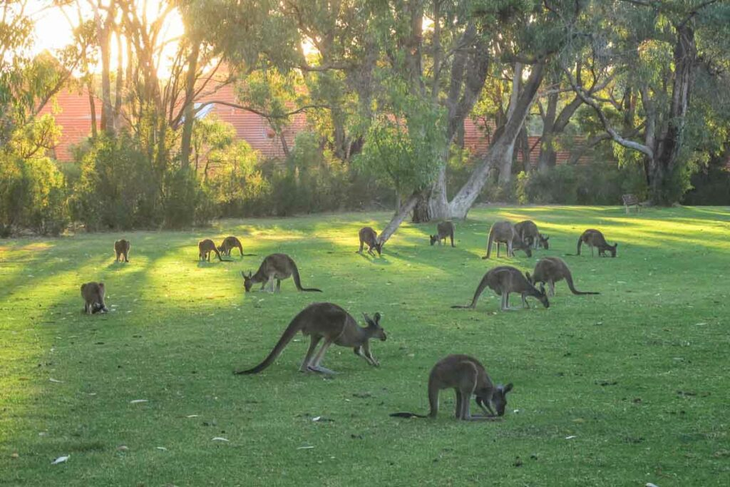 Kangaroos in Perth