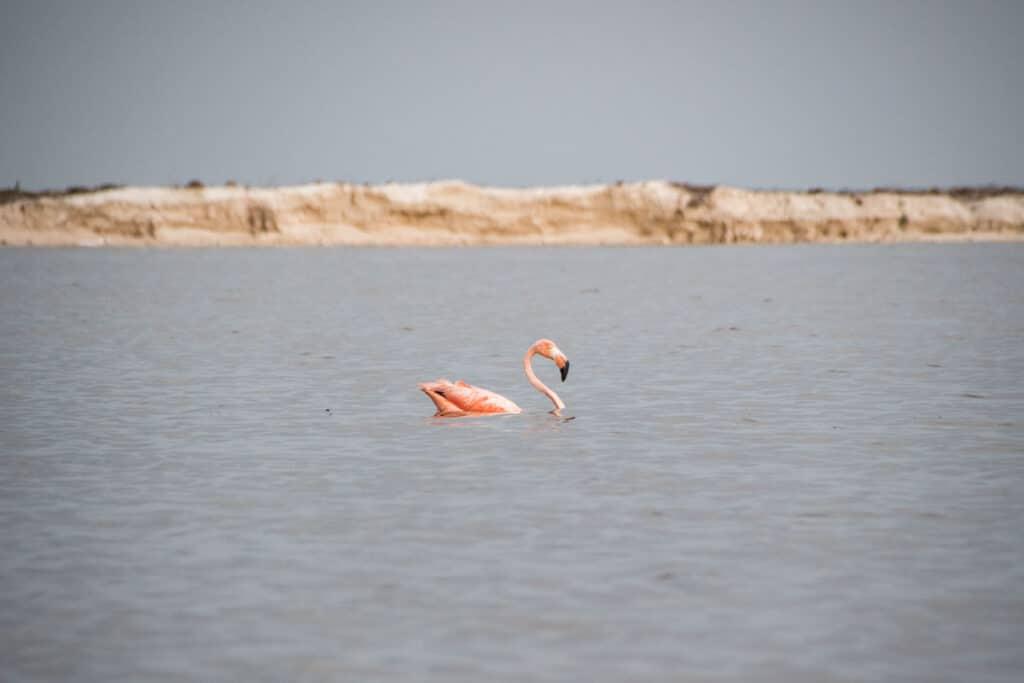 Flamingo on Las Coloradas