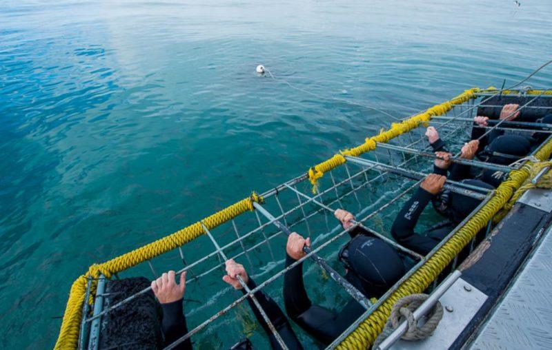como funciona mergulho de gaiola com tubarão branco