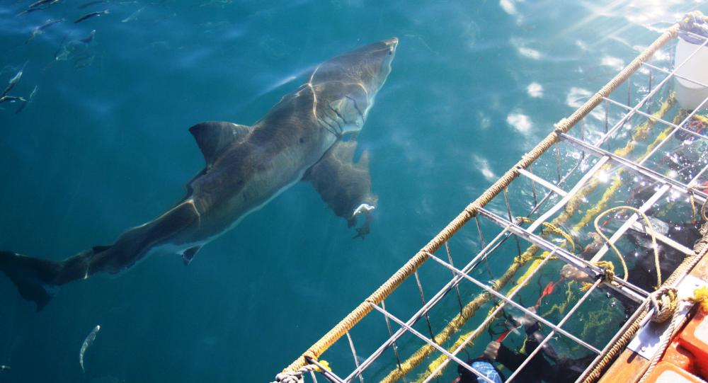 Great white shark cage diving in Cape Town is one of the best things to do in the region.