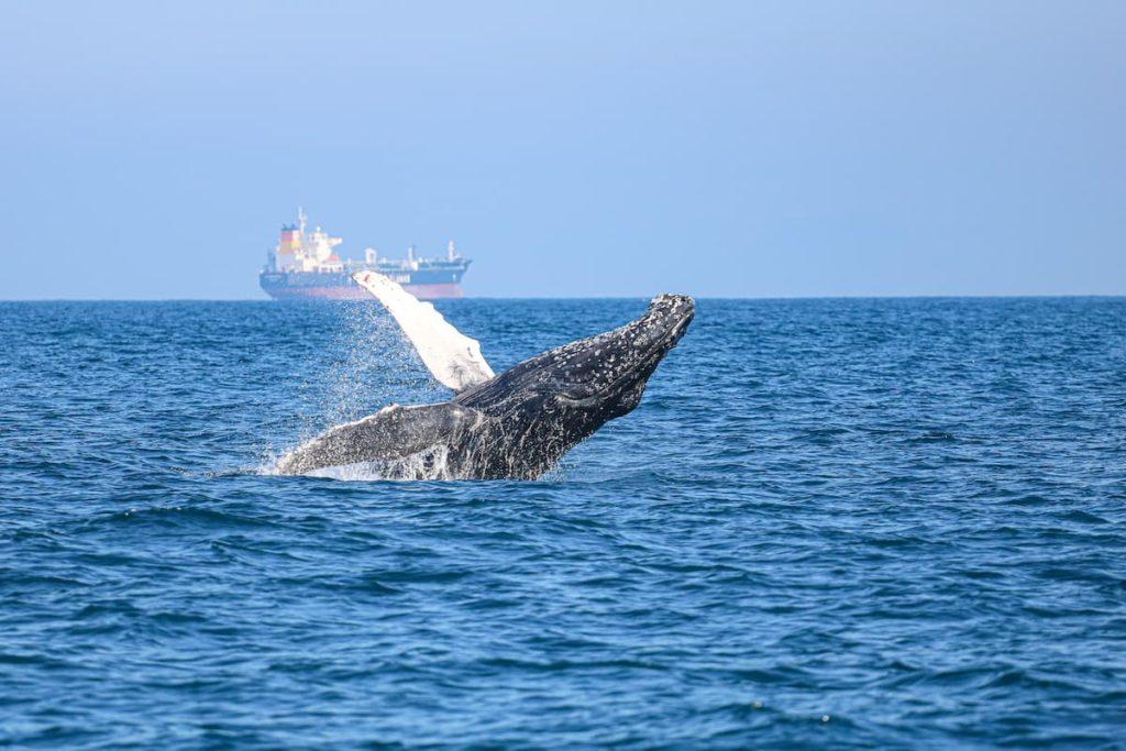 Observação de baleia jubarte
